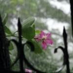 3094165-flower-in-the-rain-0